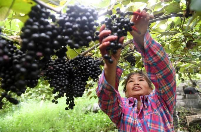 광시 뤄청: 머루포도 산업으로 소득 쑥쑥