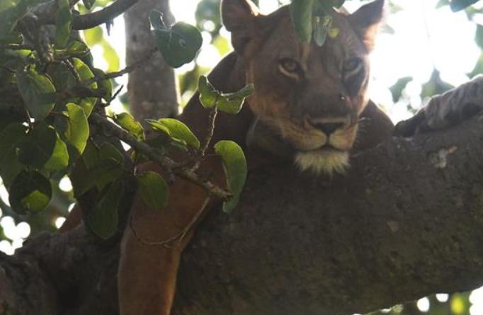 우간다 국립공원 재개방