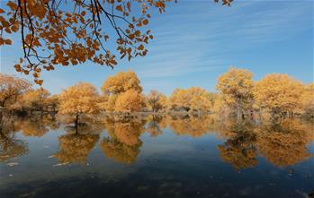 간쑤 주취안: 황금빛 가을 관광객 유혹하는 후양림