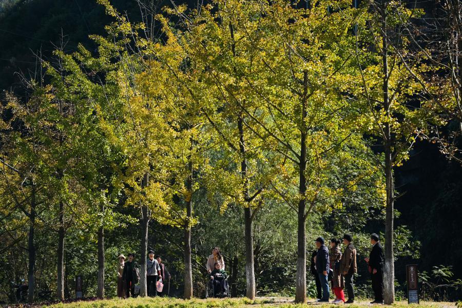 저장 창싱: 운치 있는 은행나무길 풍경