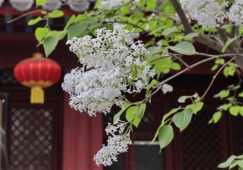 고찰에 만개한 봄꽃
