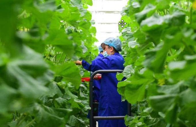 카스, 채소산업단지 조성…신장 남부 지역에 채소 공급