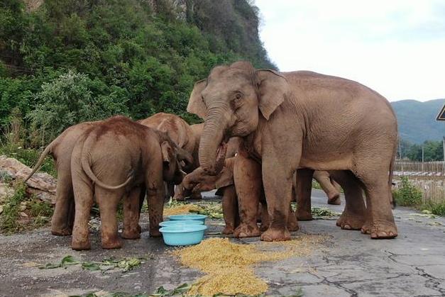 서북 지역으로 이동하는 中 코끼리떼