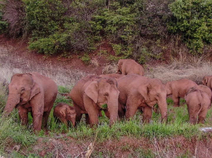 中 윈난성 야생 코끼리 떼, 북상(北上) 중 잠시 휴식